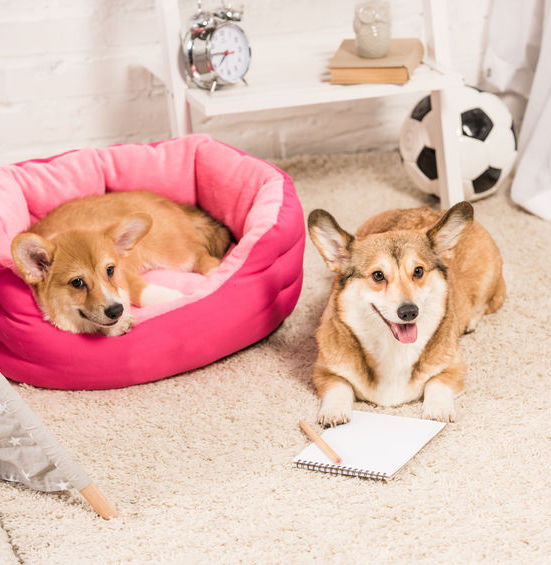 two corgis lying in the floor one with a notebook and a pen drop us a line petstruggles