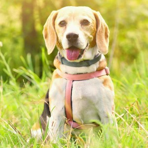 Happy Beagle Sitting on the Grass