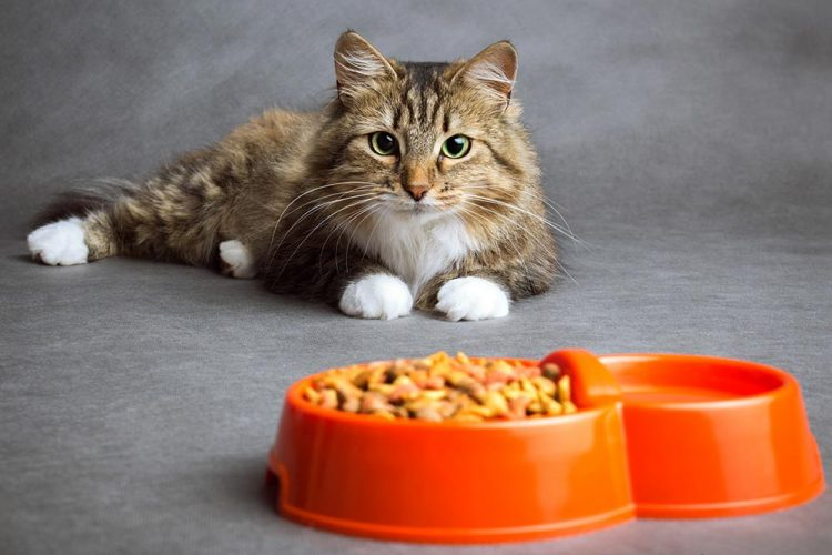 Cat laying behind its bowl of food
