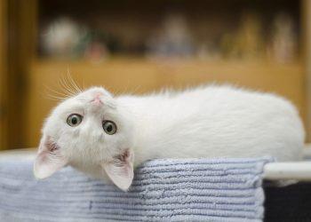 white kitten upside down on bath tub edge
