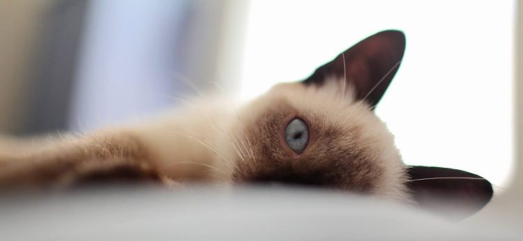 Siamese cat on its side