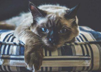 Ragdoll cat resting