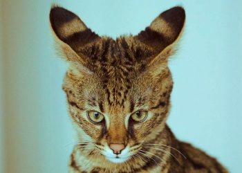 savannah cat watching