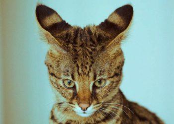 savannah cat watching