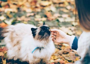 fluffy cat sniffing dental treat