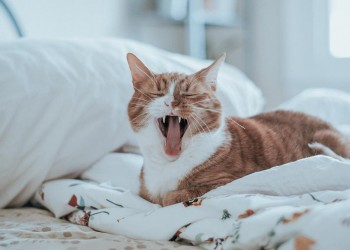 cat on the bed with its mouth open