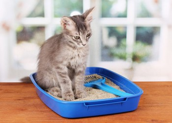 grey kitten sitting in litter box