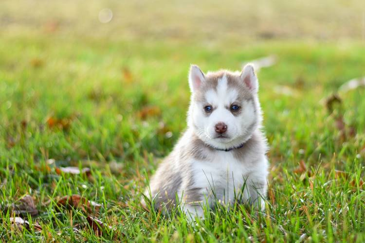 husky-puppy-sitting-in-grass