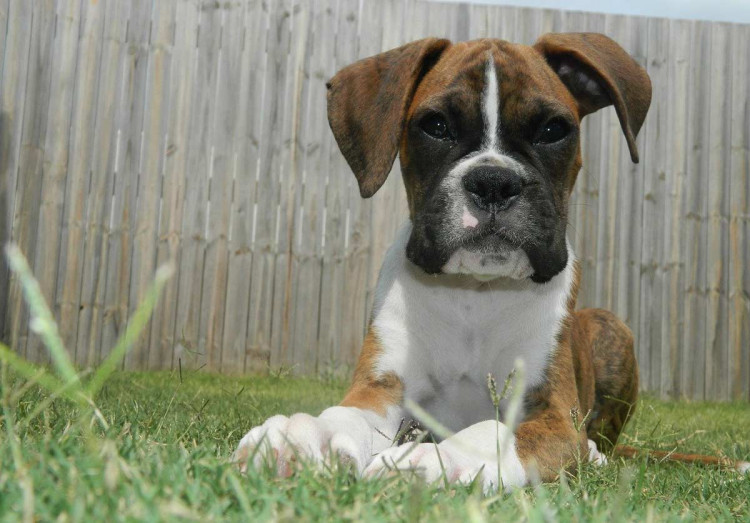 Boxer sitting on the grass