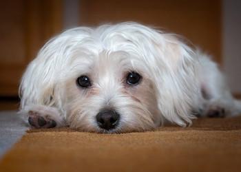 Best Dog Food for Maltese PetStruggles
