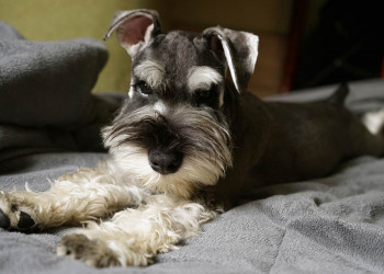 Grey with White schnauzer laying on bed