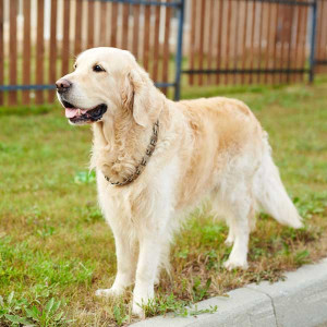 Golden Retriever standing on green lawn