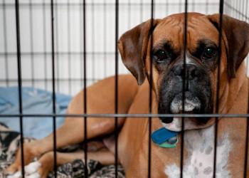 Sad Boxer dog in crate