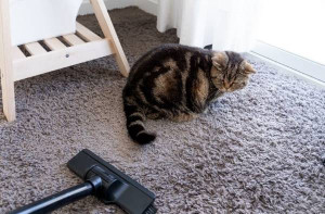Vacuum cleaning with cat at home