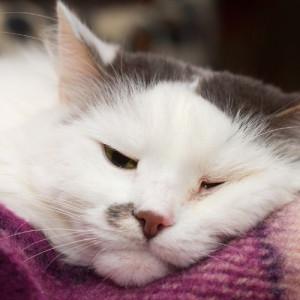 white sick cat